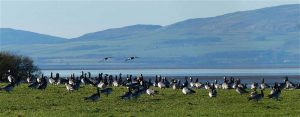 Barnacle geese on the Solway