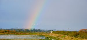 Solway rainbow and Whooper swans