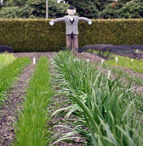 Scarecrow and vegetable garden