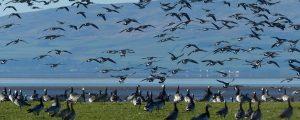 Barnacle geese near Campfield RSPB