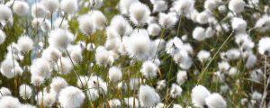 Cotton Grass – Solway wetlands