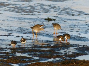 waders feeding on the Solway sands