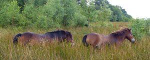 Solway Ponies