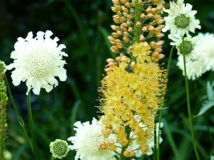 Foxtail lily and yellow scabious