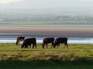 Grazing salt marsh cattle