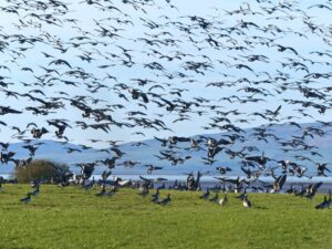 Overwintering Barnacle geese on the Solway